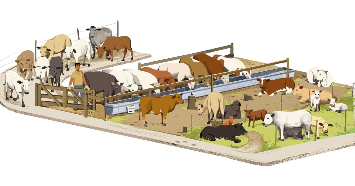 Beef isometric illustration cattle ranches