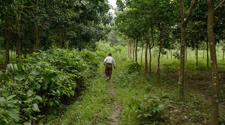 Woman walking through rubber plantation Shan state Myanmar