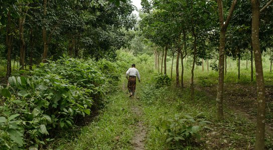 Farmer walking through rubber plantation - Shan state, Myanmar. 06/11/2014