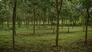 Rubber plantation in Shan state, Myanmar 2014 © Global Witness