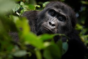 Portrait of mountain gorilla in the jungle of volcanic Virunga Mountains in Uganda.